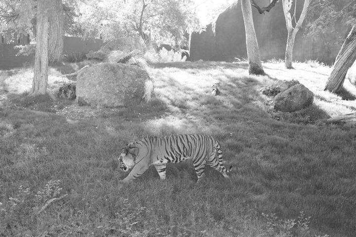 Tiger - Catching Zen Studios