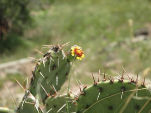 Yellow Flower with Cactus