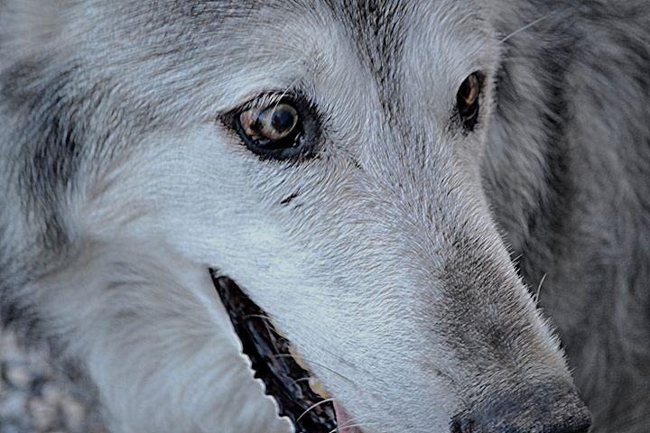 Wolves XII - Ethereal Organics...diane montana jansson