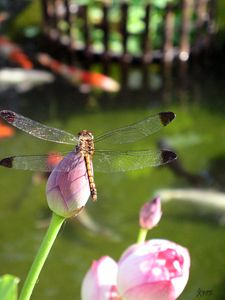 Dragonfly Alight