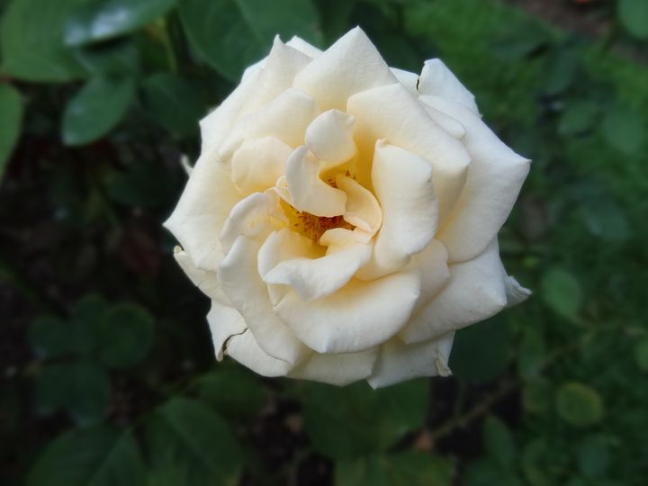 Peach Rose in Garden - Rice Photography