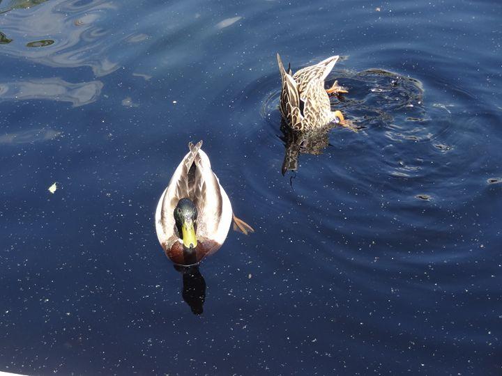 Mallard Ducks in Water - Rice Photography