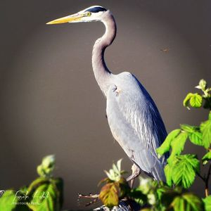 Majestic Blue Heron - Tazy's Gallery