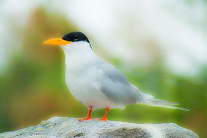 River Tern (Glowing)
