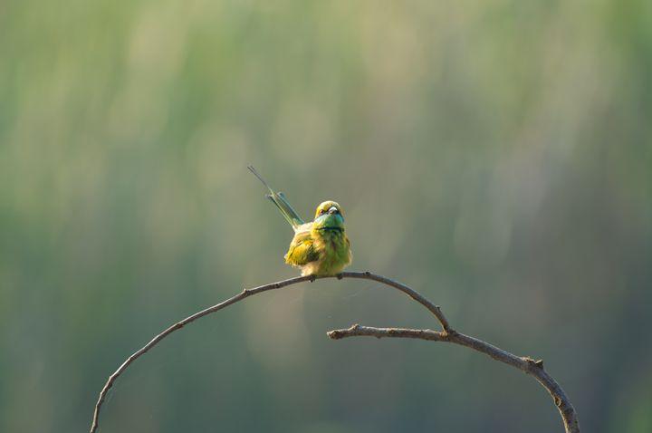 Green Bee Eater - Krishna Prasad R