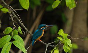 Common Kingfisher - Krishna Prasad R