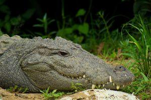 Mugger / Marsh Crocodile