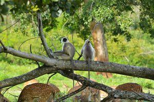 Hanuman / Gray Langur