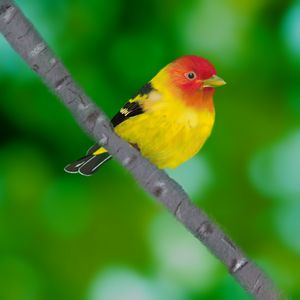 Western Tanager - David Montgomery