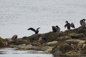 Cormorant in Maine