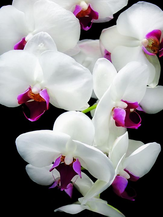 Spray of Orchids - MaryLanePhotography