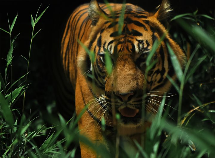 Tiger - Spider Milk Photography