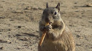 Squirrel eats a French Fry