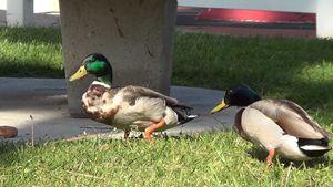 Ducks gone wild