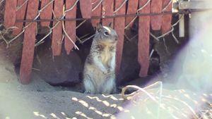 Gazing Squirrel