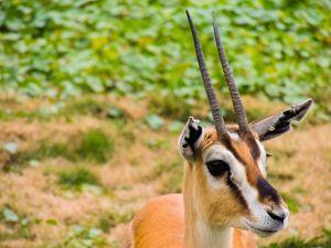 Gazelle Up Close