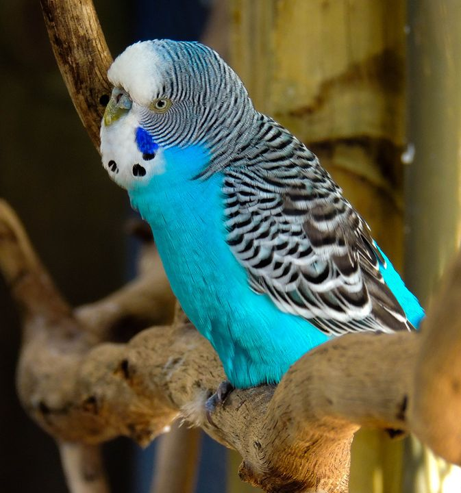 Blue Parakeet - Aaron Alvarez