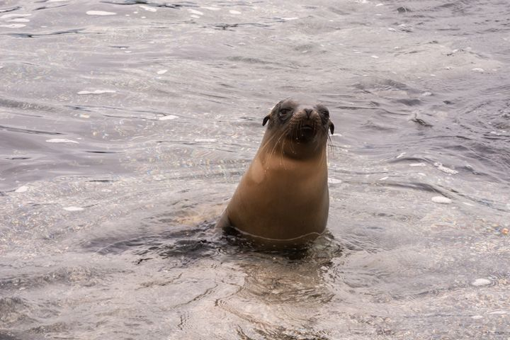 Sea lion emerging from the water. - BRISTE