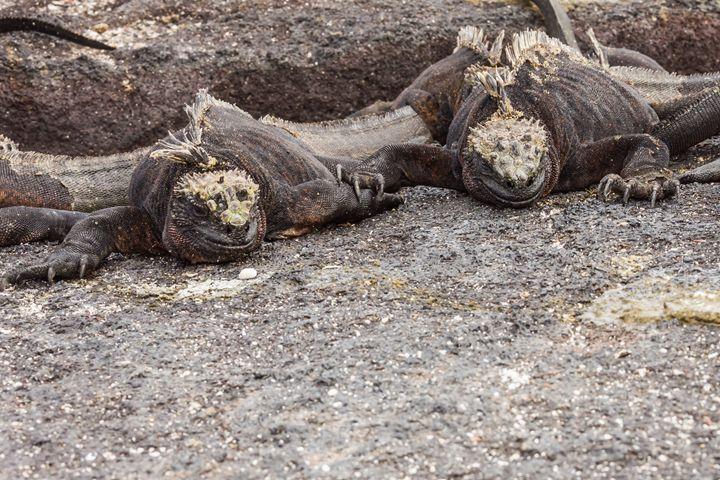 Pair of marine iguanas - BRISTE