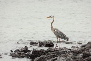 Great blue heron wading - BRISTE