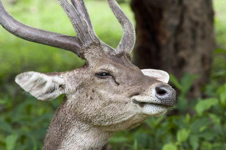 Komodo deer in close-up - BRISTE