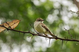 Galapagos flycatcher on a branch - BRISTE