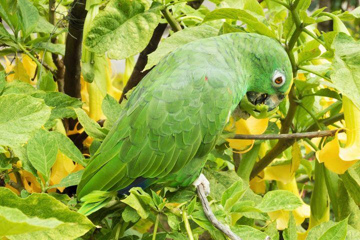 Small green parakeet on a branch - BRISTE