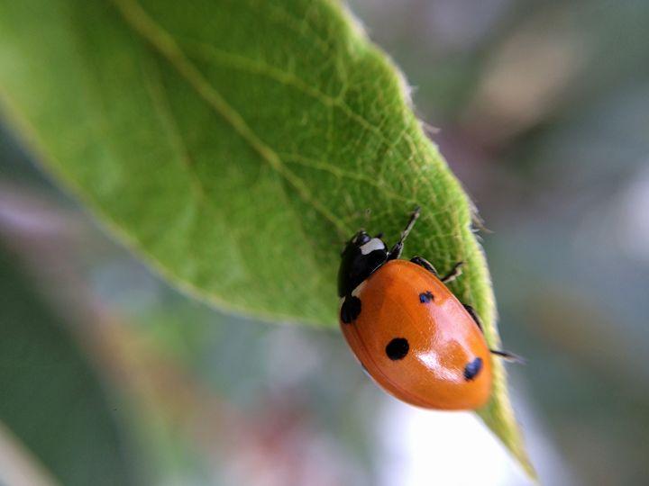 Ladybug - Kimberly Goddard