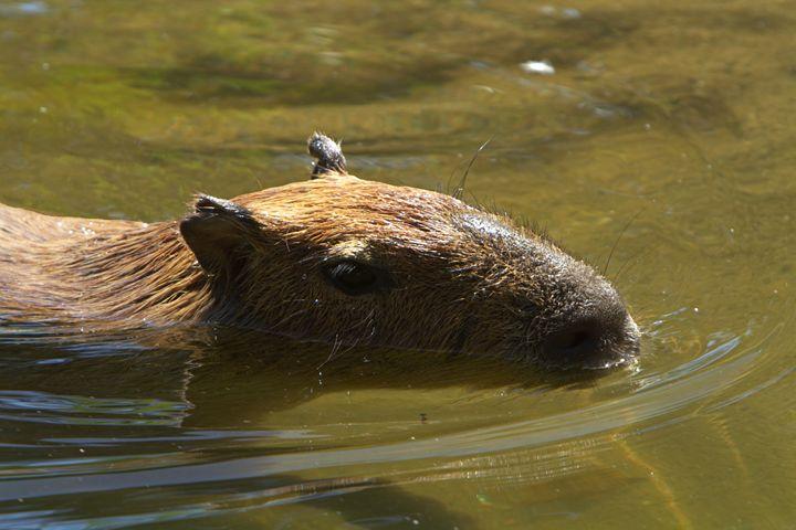 Capybara - Kimberly Goddard