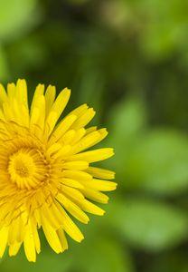large yellow blooming dandelion