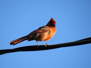 Beautiful Male Cardinal Bird