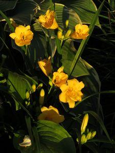 Stella Dora Day Lily In Golden Hour
