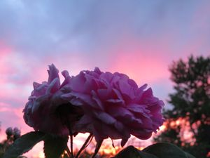 Pink Roses In The Sunset