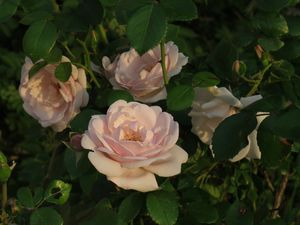 Old Fashioned Pink Roses