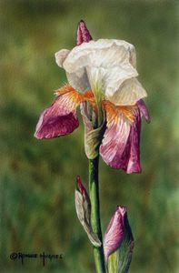 """""""Bearded Iris 1"""""""