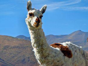 Gorgeous alpaca