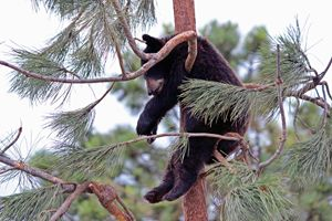 Black bear hanging in a tree.