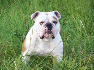 Cute English Bulldog - For The Love Of Animals