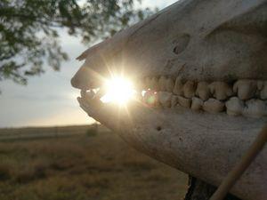 Sunset Boar