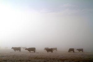 High Prairie Cattle