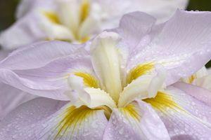 'World's Delight' Japanese Iris