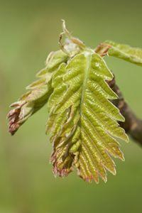 Hungarian Oak (Quercus frainetto)