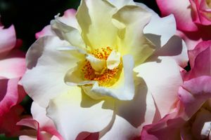Rose in Balboa