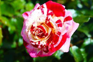 Paint Spill Rose