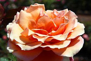 Peach Flavored Rose