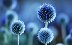 Blue Flower Prestige