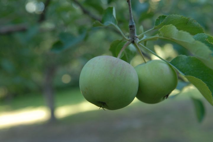 Apples in Orchard -  Aidenma23