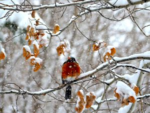 Red Breasted Robin in the Winter
