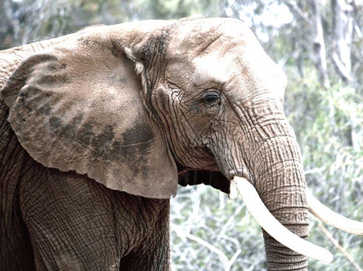 Elephant Profile - Aili Thomas