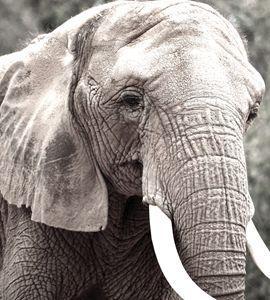 Gray tone Elephant